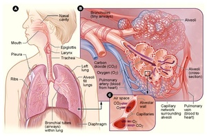 TB Online - How TB infects the body: The Tubercle